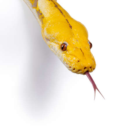 Head shot of Lavender Albino Reticulated python aka Malayopython reticulatus snake. Isolated on white background.
