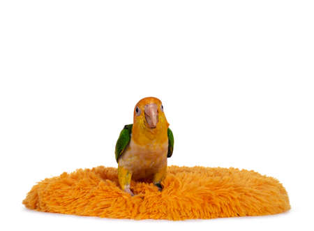 Young White bellied caique bird, sitting on orange carpet. Looking curious to camera. Isolated on white background.