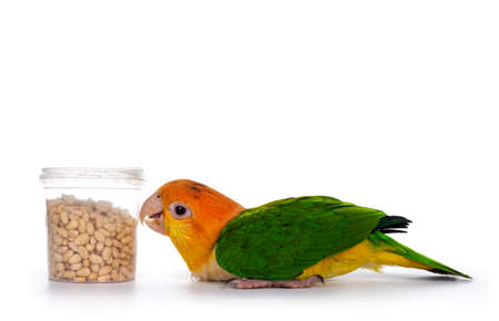 Young White bellied caique bird, laying flat on the floor. Looking hungry to bucket with seeds. Isolated on white background.