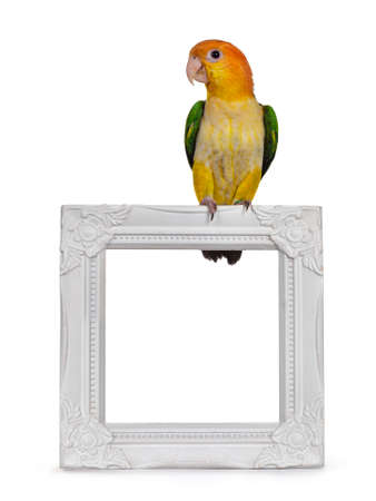 Young White bellied caique bird, sitting facing front on empty photo frame Looking curious to the side. Isolated on white background.