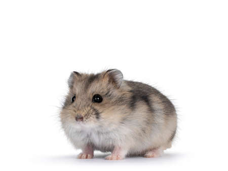 Cute baby hamster, standing facing front. Looking towards camera. Isolated on a white background.