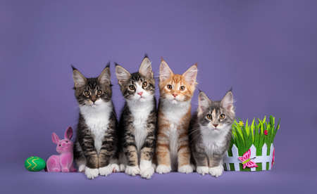 Row of four Maine Coon cat kittens, sitting beside each other inbetween Easter decoration. All looking towards camera. Isolated on a purple background.