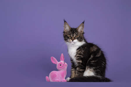 Cute black tabby with white Maine Coon cat kitten, sitting side ways next to a pink toy rabbit. Isolated on purple background.
