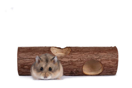 Cute brown dwarf hamster, walking towards camera from wooden trunk toy. Isolated on a white background.
