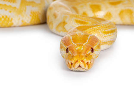 Close up of young adult Burmese Python aka Python bivittatus snake in albino color. Isolated on white background.