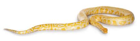 Young adult Burmese Python aka Python bivittatus snake in albino color. Isolated on white background. Фото со стока