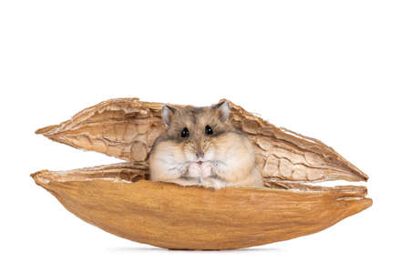 Brown adult Campbelli hamster, sitting in a dried kapok shell. Looking towards camera. Isolated on white background. Stockfoto