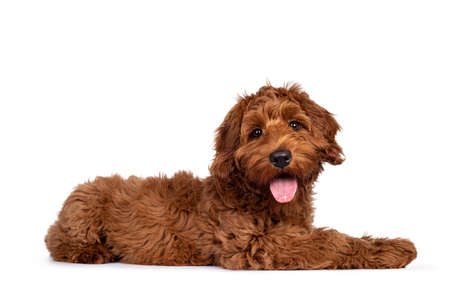 Adorable red Cobberdog aka Labradoodle dog puppy, laying down side ways. Looking straight to camera, tongue out. Isolated on a white background.