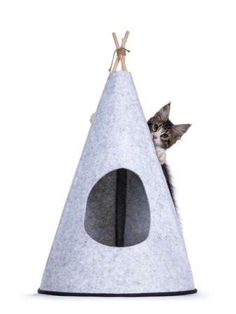 Cute black tabby with white Maine Coon cat kitten, hanging on back side of gray felt tipi tent. Looking towards camera. Isolated on a white background.