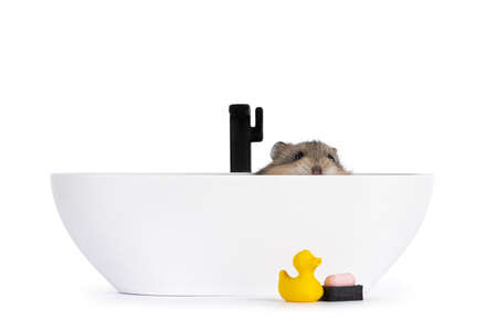 Brown baby hamster, hiding in 3D printed bath tub. Looking over edge. Isolated on white background. Фото со стока