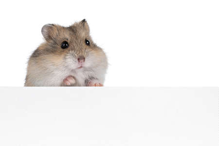 Brown baby hamster, standing behind white copy space board. Looking towards camera. Isolated on white background. Фото со стока