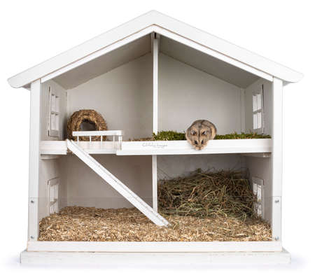 Brown adult hamster, sitting in white wooden dollhouse transformed to hamster cage. Isolated on a white background.