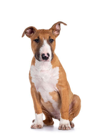 Handsome brown with white Bull Terrier dog, siting down facing front. Looking beside camera. Isolated on white background. One ear straght, one ear up.