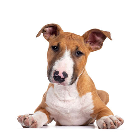 Handsome brown with white Bull Terrier dog, laying down facing front. Looking straight at camera with cute head tilt. Isolated on white background.