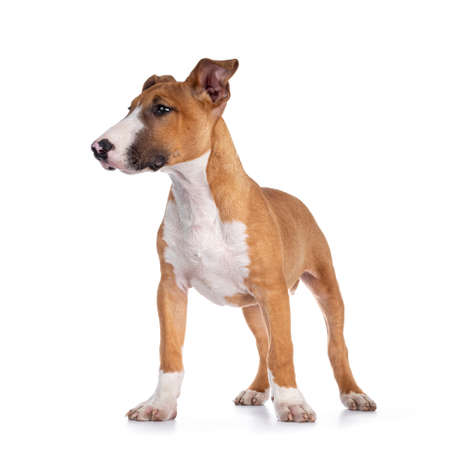 Handsome brown with white Bull Terrier dog, standing facing front. Looking side ways showing profile. Isolated on white background. Фото со стока