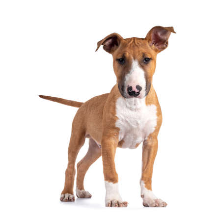 Handsome brown with white Bull Terrier dog, standing facing front. Looking beside camera. Isolated on white background. Head slightly down. Фото со стока