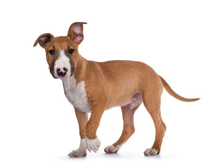 Handsome brown with white Bull Terrier dog, walking side ways. Looking straight at camera. Isolated on white background.