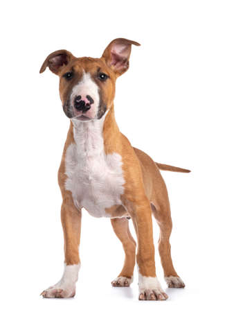 Handsome brown with white Bull Terrier dog, standing facing front. Looking beside camera. Isolated on white background.