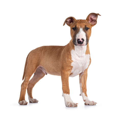 Handsome brown with white Bull Terrier dog, standing side ways. Looking straight at camera. Ears cute uneven. Isolated on white background.