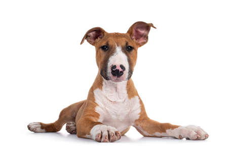 Handsome brown with white Bull Terrier dog, laying down facing front. Looking straight at camera. Isolated on white background.