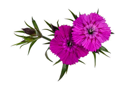 Branch with two pink Dianthus aka carnation flowers. Top view on white background.