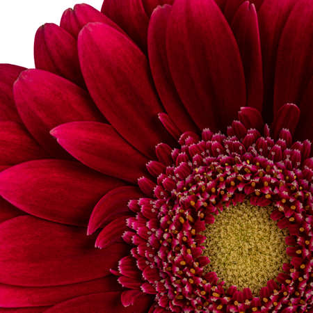 Top view macro shot of intense red Gerbera flower. Isolated on white background.