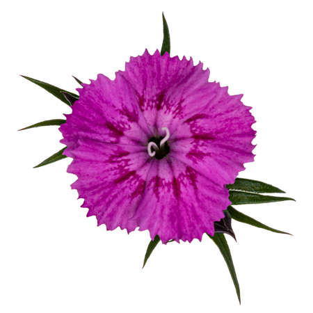 Single pink Dianthus aka carnation flower. Top view on white background.