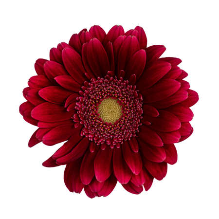 Top view of intense red Gerbera flower. Isolated on white background.