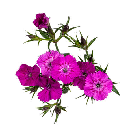 Branch with multiple pink Dianthus aka carnation flowers. Top view on white background.