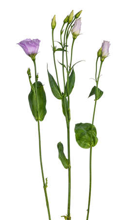 Side view of three branches lisianthus or Eustoma. Isolated on a white background.