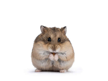 Cute adult brown hamster sitting on hind paws, holding and eating a flourworm in paws. Isolated on a white background.