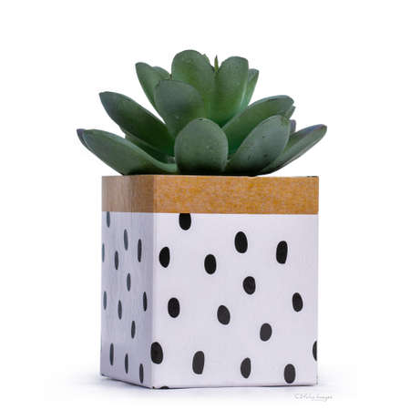 Little green succulent plant in paper decorated box. Isolated on a white background.