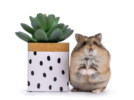 Cute hamster standing beside little green succulent plant in paper decorated box. Isolated on a white background.