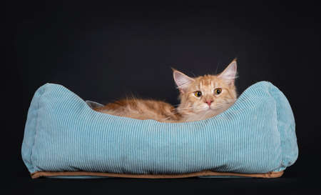Young red silver Maine Coon cat, laying in blue basket. Avoiding eye contact, eyes turned funny to the side. Isolated on a black background.