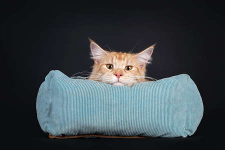 Young red silver Maine Coon cat, laying in blue basket. Head laying on edge of basket. Looking bored straight at lens with yellow eyes. Isolated on a black background. Фото со стока