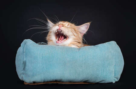 Young red silver Maine Coon cat, laying in blue basket. Head just above edge. Mouth wide open screaming or yawning showing teeth. Isolated on a black background. Фото со стока