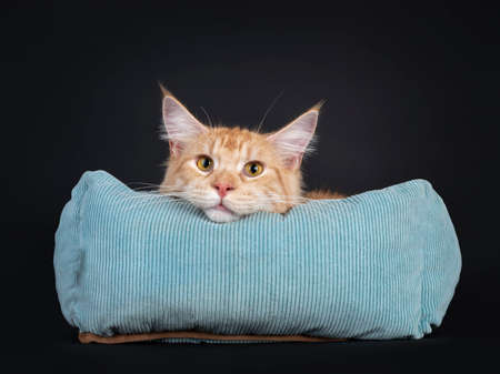 Young red silver Maine Coon cat, laying in blue basket. Head laying over edge of basket. Looking straight at lens with yellow eyes. Isolated on a black background.