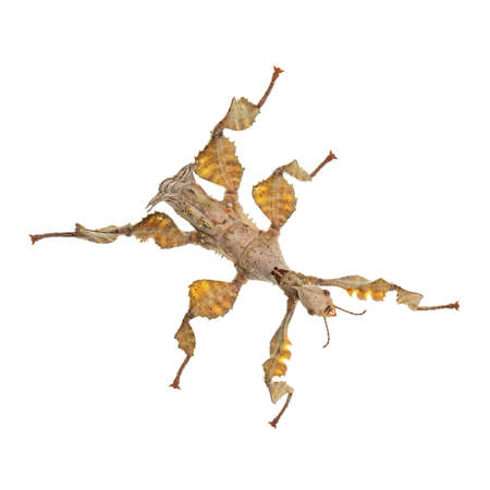 Top view of Spiny Leaf Insect aka Extatosoma tiaratum. Isolated on white background. Фото со стока