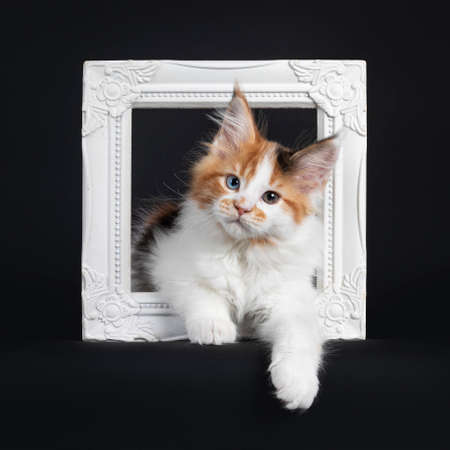 Beautiful marked odd eyed Maine Coon cat kitten, laying through white photo frame. Looking towards camera. Isolated on a black background. Фото со стока