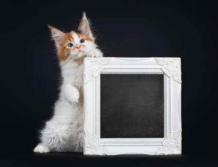 Beautiful marked odd eyed Maine Coon cat kitten, standing on hind paws holding up a white photo frame. Looking towards camera. Isolated on a black background.
