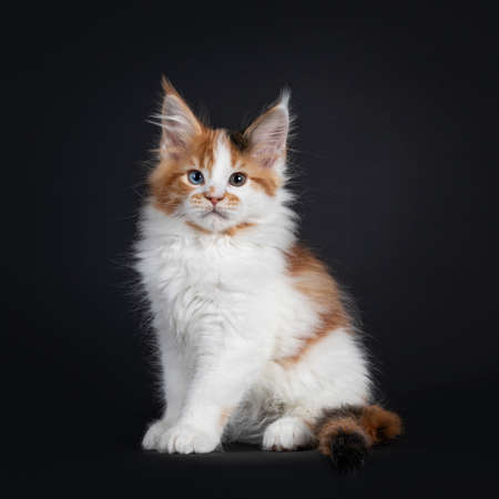 Beautiful marked odd eyed Maine Coon cat kitten, sitting up straight facing camera. Looking towards camera. Isolated on a black background.