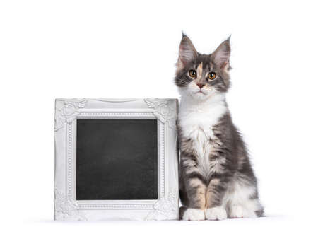 Cute tortie Maine Coon cat kitten, sitting beside a white photo frame filled with blackboard. Looking curious to camera. Isolated on a white background.
