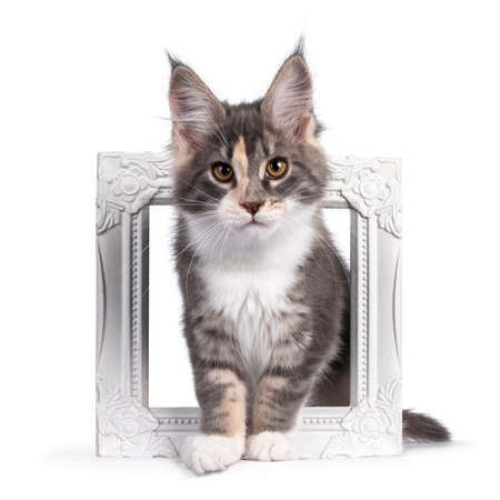 Cute tortie Maine Coon cat kitten, standing through a white photo frame. Looking curious to camera. Isolated on a white background. Фото со стока