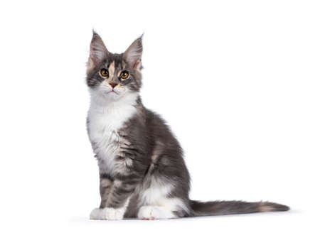 Cute tortie Maine Coon cat kitten, sitting up side ways. Looking curious to camera. Isolated on a white background.