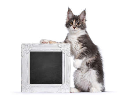 Cute tortie Maine Coon cat kitten, sitting on hind paws beside a white photo frame filled with blackboard. Looking curious to camera. Isolated on a white background. Фото со стока