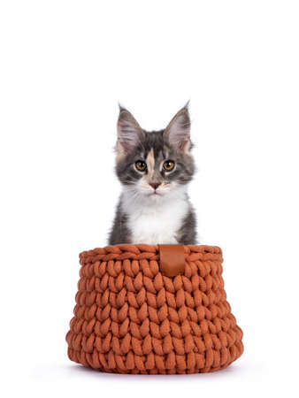 Cute tortie Maine Coon cat kitten, sitting in terracotta knitted basket. Looking curious to camera. Isolated on a white background.