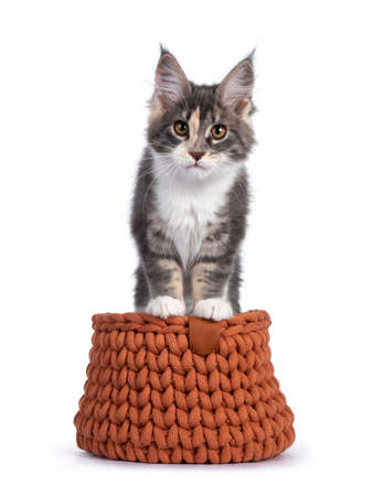 Cute tortie Maine Coon cat kitten, standing with front paws on edge of terracotta knitted basket. Looking curious to camera. Isolated on a white background.