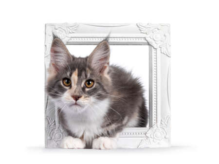 Cute tortie Maine Coon cat kitten, laying through a white photo frame. Looking curious to camera. Isolated on a white background. Фото со стока