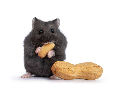 Cute black baby hamster, eating peanut. Isolated on a white background.