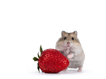 Cute brown baby hamster, standing behind strawberry fruit. Isolated on a white background.